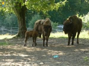 Réservation de bisons Slivuț
